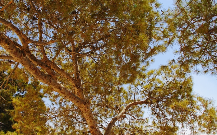The Hashemite Kingdom of Jordan Photography By Charlotte Farhan Pine Tree on Mount